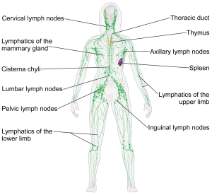 Blausen_0623_LymphaticSystem_Female