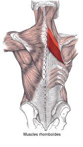 Muscles_rhomboïdes
